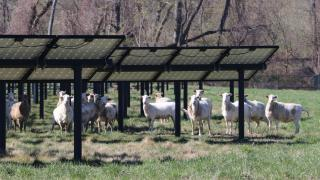 sheep in the solar field